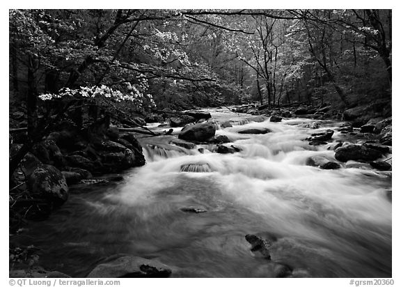 Stream with rapids and dogwoods in spring, Treemont, Tennessee. Great Smoky Mountains National Park (black and white)