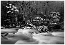 Three dogwoods with blossoms, boulders, flowing water, Middle Prong of the Little River, Tennessee. Great Smoky Mountains National Park, USA. (black and white)
