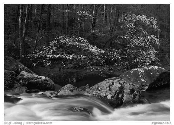 Two blooming dogwoods, boulders, flowing water, Middle Prong of the Little River, Tennessee. Great Smoky Mountains National Park (black and white)
