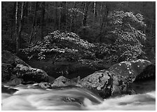 Two blooming dogwoods, boulders, flowing water, Middle Prong of the Little River, Tennessee. Great Smoky Mountains National Park, USA. (black and white)
