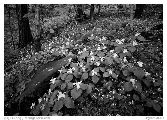 Carpet of White Trilium, Chimney Rock area, Tennessee. Great Smoky Mountains National Park (black and white)