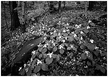 Carpet of White Trilium, Chimney Rock area, Tennessee. Great Smoky Mountains National Park ( black and white)