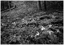 Forest undergrowth with multicolored Trillium, Chimney area, Tennessee. Great Smoky Mountains National Park, USA. (black and white)