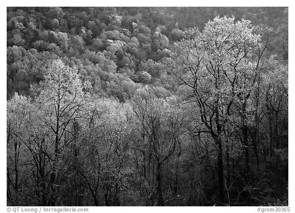 Trees and hillside with light green color of spring, late afternoon, Tennessee. Great Smoky Mountains National Park (black and white)