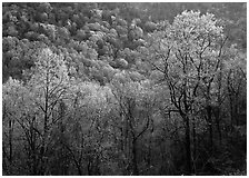 Trees and hillside with light green color of spring, late afternoon, Tennessee. Great Smoky Mountains National Park ( black and white)