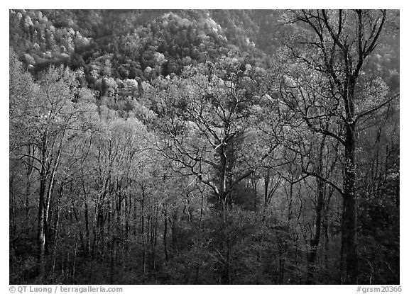 Tender green trees and hillside in spring, late afternoon, Tennessee. Great Smoky Mountains National Park (black and white)