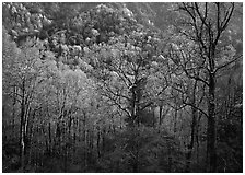 Tender green trees and hillside in spring, late afternoon, Tennessee. Great Smoky Mountains National Park ( black and white)