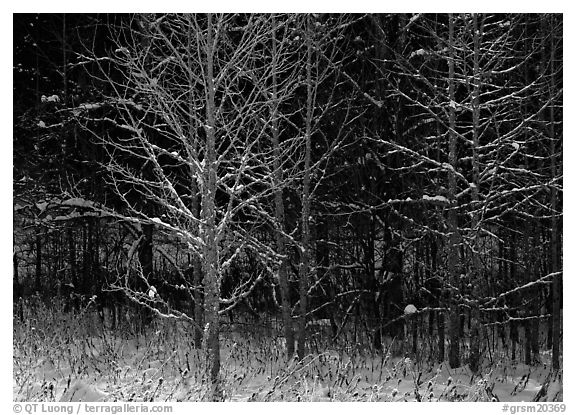 Bare trees in winter, early morning, Tennessee. Great Smoky Mountains National Park (black and white)