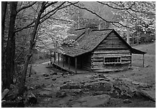 Noah Ogle historical cabin framed by blossoming dogwood tree, Tennessee. Great Smoky Mountains National Park ( black and white)