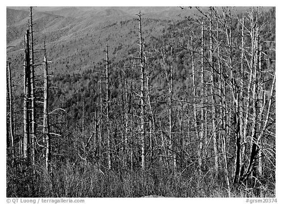 Bare mountain ash trees with red berries and hillside, Clingsman Dome. Great Smoky Mountains National Park (black and white)