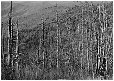 Bare mountain ash trees with red berries and hillside, Clingsman Dome. Great Smoky Mountains National Park, USA. (black and white)
