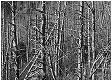 Bare trees with Mountain Ash berries, North Carolina. Great Smoky Mountains National Park, USA. (black and white)