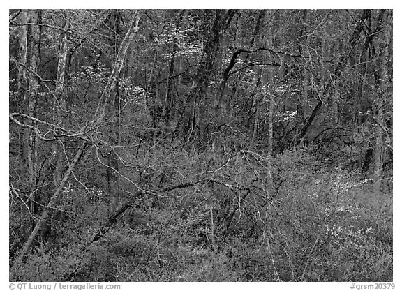 Bare trees, redbuds, and dogwoods in bloom, North Carolina. Great Smoky Mountains National Park (black and white)