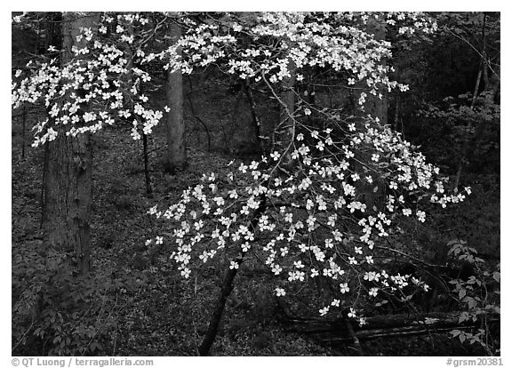 Flowering Dogwood (Cornus Florida), Tennessee. Great Smoky Mountains National Park (black and white)