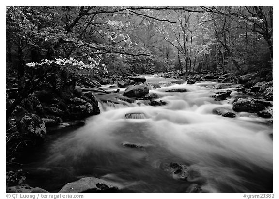Fluid stream with and dogwoods trees in spring, Treemont, Tennessee. Great Smoky Mountains National Park (black and white)