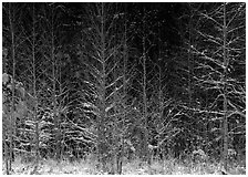 Sunlit trees in winter. Great Smoky Mountains National Park, USA. (black and white)