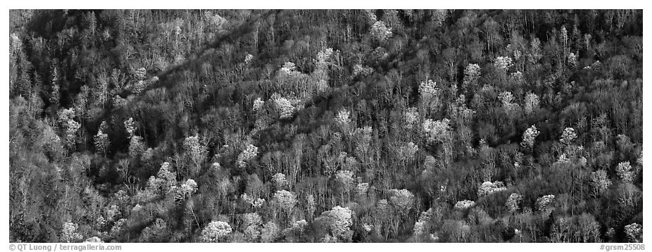Hillside with mix of bare trees and newly leafed trees in spring. Great Smoky Mountains National Park (black and white)