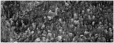 Hillside with mix of bare trees and newly leafed trees in spring. Great Smoky Mountains National Park (Panoramic black and white)