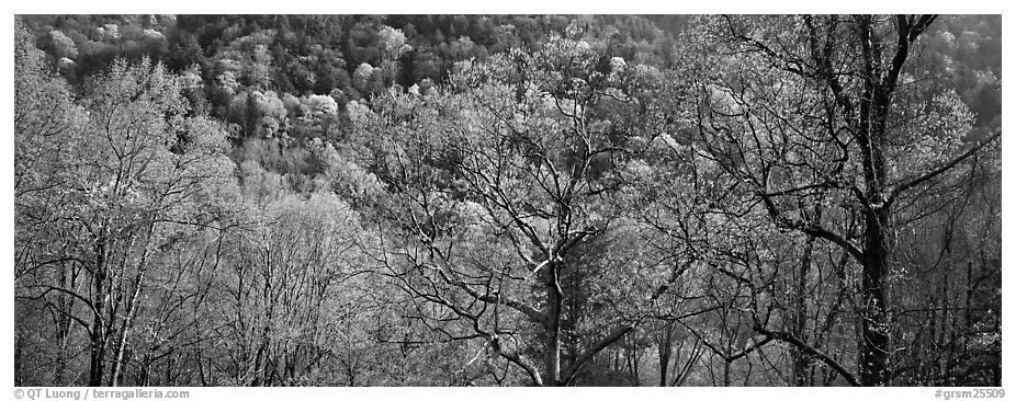Trees with new leaves and hillside. Great Smoky Mountains National Park (black and white)