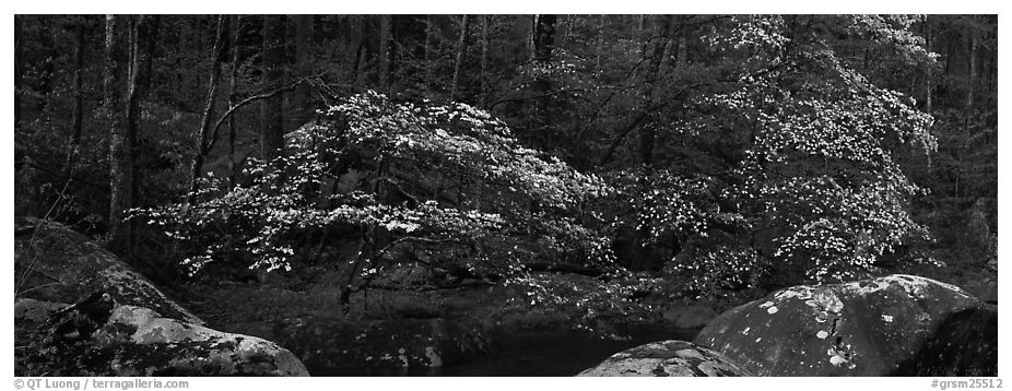 Dogwood trees blooming in forest. Great Smoky Mountains National Park (black and white)