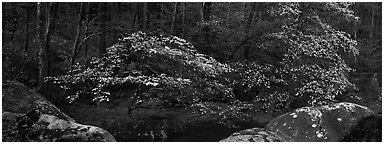 Dogwood trees blooming in forest. Great Smoky Mountains National Park (Panoramic black and white)