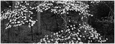 Branches with dogwood flowers. Great Smoky Mountains National Park (Panoramic black and white)