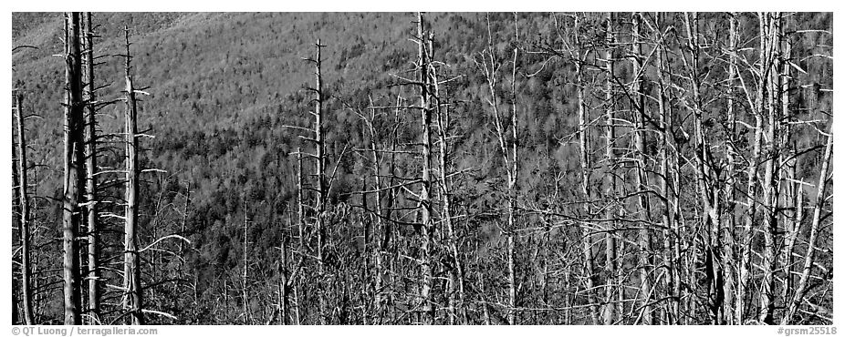 Bare trees with red berries against hill backdrop. Great Smoky Mountains National Park (black and white)