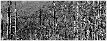Bare trees with red berries against hill backdrop. Great Smoky Mountains National Park (Panoramic black and white)