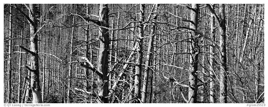 Forest in the fall with red berries. Great Smoky Mountains National Park (black and white)