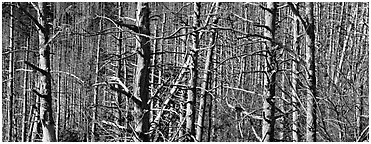 Forest in the fall with red berries. Great Smoky Mountains National Park (Panoramic black and white)