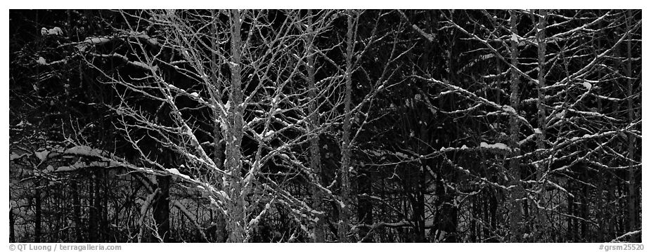 Forest in winter with illuminated trees and blue shadows. Great Smoky Mountains National Park (black and white)