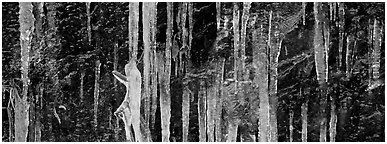 Close-up of icicle formation in winter. Great Smoky Mountains National Park (Panoramic black and white)