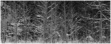 Forest scene in winter with fresh snow. Great Smoky Mountains National Park (Panoramic black and white)