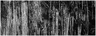 Rock with icile tapestry. Great Smoky Mountains National Park (Panoramic black and white)