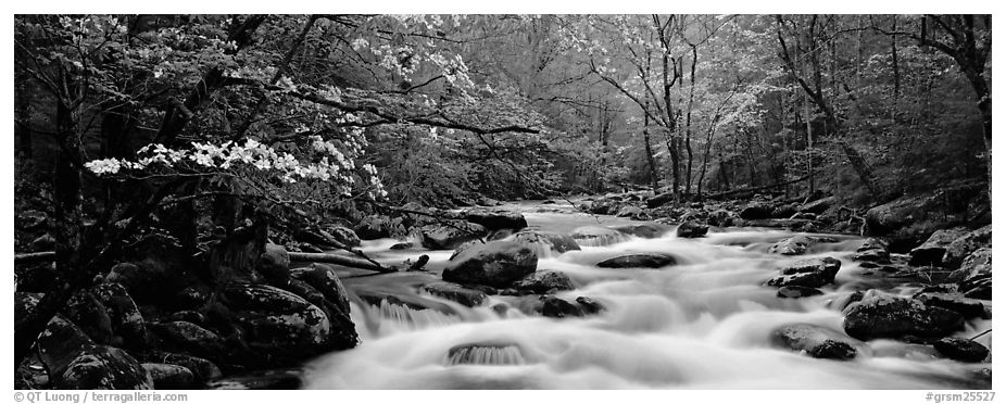 Dogwoods and river in the spring. Great Smoky Mountains National Park (black and white)