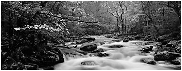 Dogwoods and river in the spring. Great Smoky Mountains National Park (Panoramic black and white)