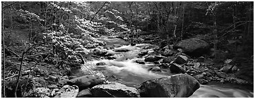 Forest scenery with dogwood blooming, stream, and boulders. Great Smoky Mountains National Park (Panoramic black and white)