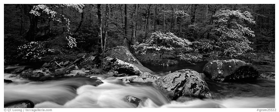 Spring forest scene with stream and dogwoods in bloom. Great Smoky Mountains National Park (black and white)