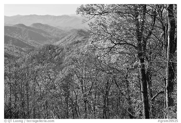 Trees in fall foliage and distant ridges from Newfound Gap road, North Carolina. Great Smoky Mountains National Park (black and white)