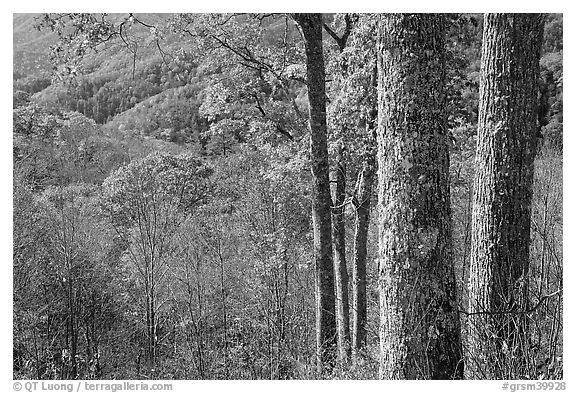 Tree trunks, distant valley, and fall colors, North Carolina. Great Smoky Mountains National Park (black and white)