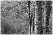 Tree trunks, distant valley, and fall colors, North Carolina. Great Smoky Mountains National Park ( black and white)