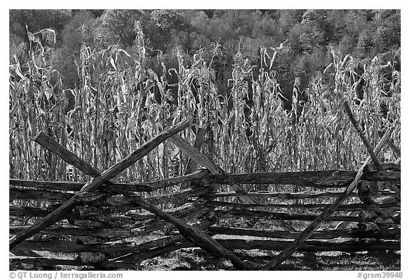 Fence and corn, Oconaluftee Mountain Farm, North Carolina. Great Smoky Mountains National Park (black and white)