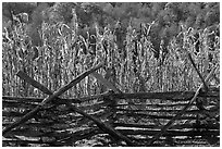 Fence and corn, Oconaluftee Mountain Farm, North Carolina. Great Smoky Mountains National Park, USA. (black and white)