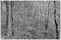 Trees in autumn colors in muted light, Balsam Mountain, North Carolina. Great Smoky Mountains National Park ( black and white)