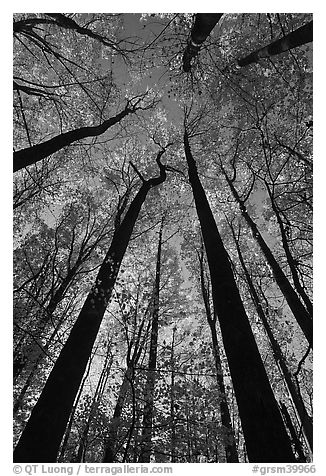 Looking up forest in fall foliage, Tennessee. Great Smoky Mountains National Park (black and white)