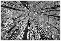 Looking up red leaves and forest in autumn foliage, Tennessee. Great Smoky Mountains National Park ( black and white)