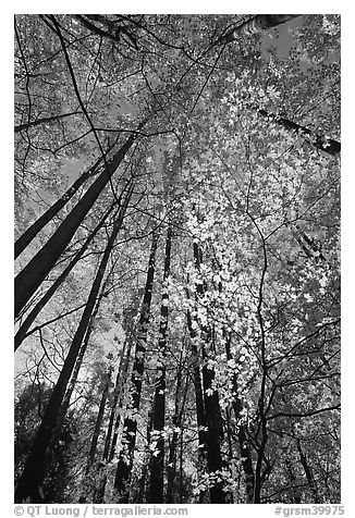 Looking up through backlit leaves in fall foliage, Tennessee. Great Smoky Mountains National Park (black and white)