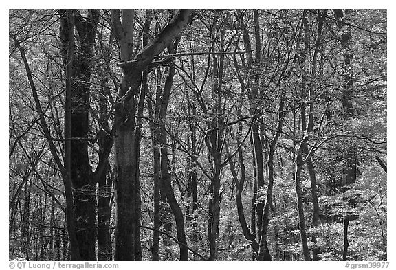 Twisted dark trees and sunny forest in fall, Tennessee. Great Smoky Mountains National Park (black and white)