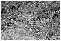 Trees in fall colors on slope, Tennessee. Great Smoky Mountains National Park ( black and white)