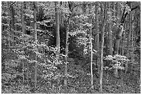 Trees with bright leaves in hillside forest, Tennessee. Great Smoky Mountains National Park, USA. (black and white)